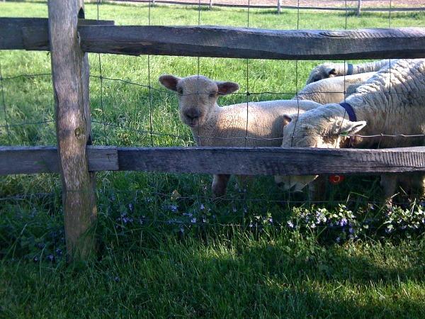 lambs--www.thethreeyearexperiment.com