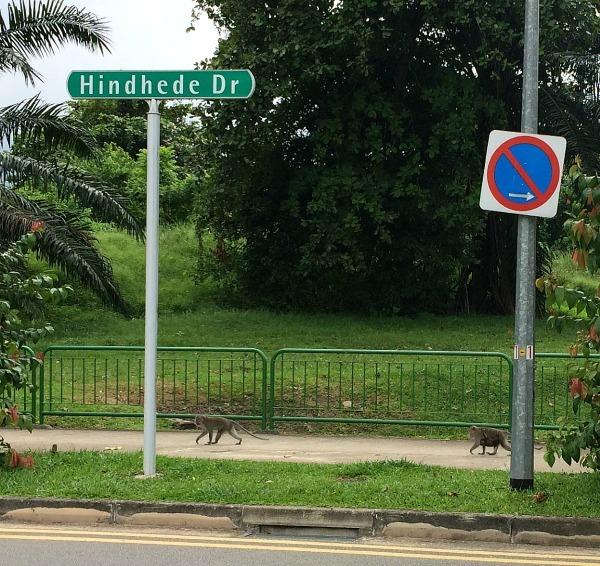 Singapore's monkeys