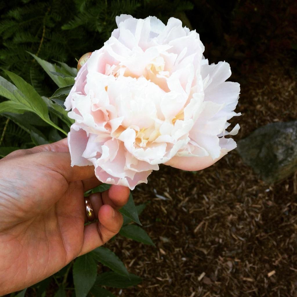 White peony--www.thethreeyearexperiment.com