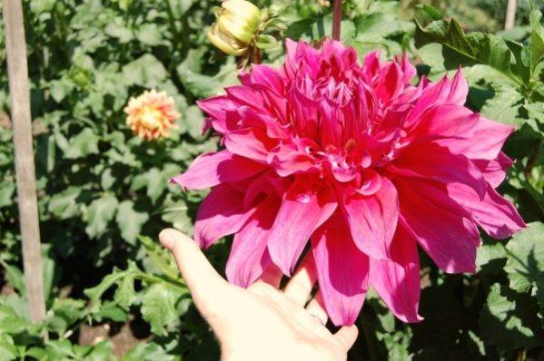 Dahlia flower steady efforts good habits-- thethreeyearexperiment.com