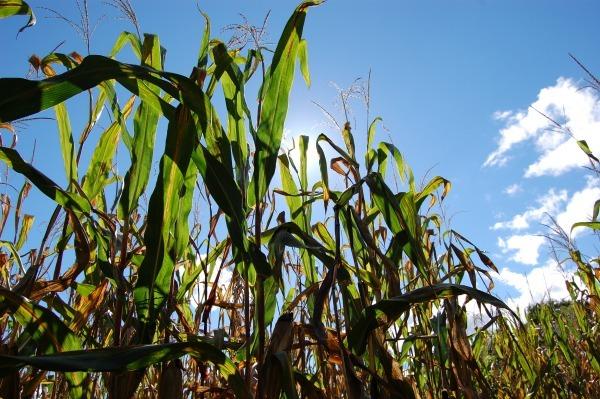 corn husks--www.thethreeyearexperiment.com