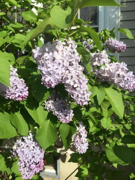 Lilacs--www.thethreeyearexperiment.com
