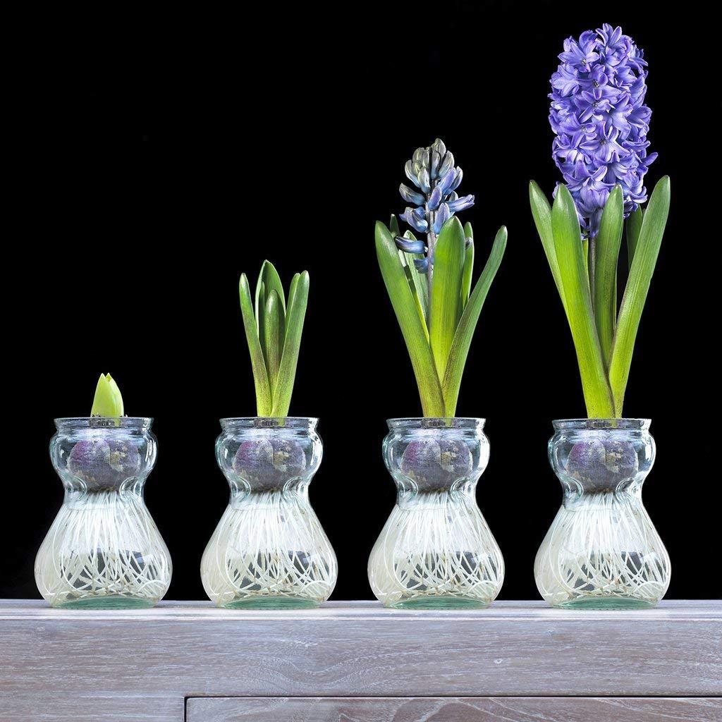 Hyacinth bulb www.thethreeyearexperiment.com